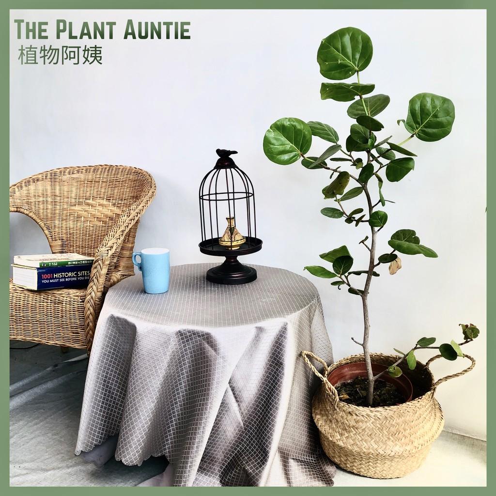 [植物阿姨/8.5寸 高110海葡萄]樹蓼 觀葉 植栽 盆栽 療癒 綠色 植物 室內 空氣清淨 園藝 文寈 花 仙人掌