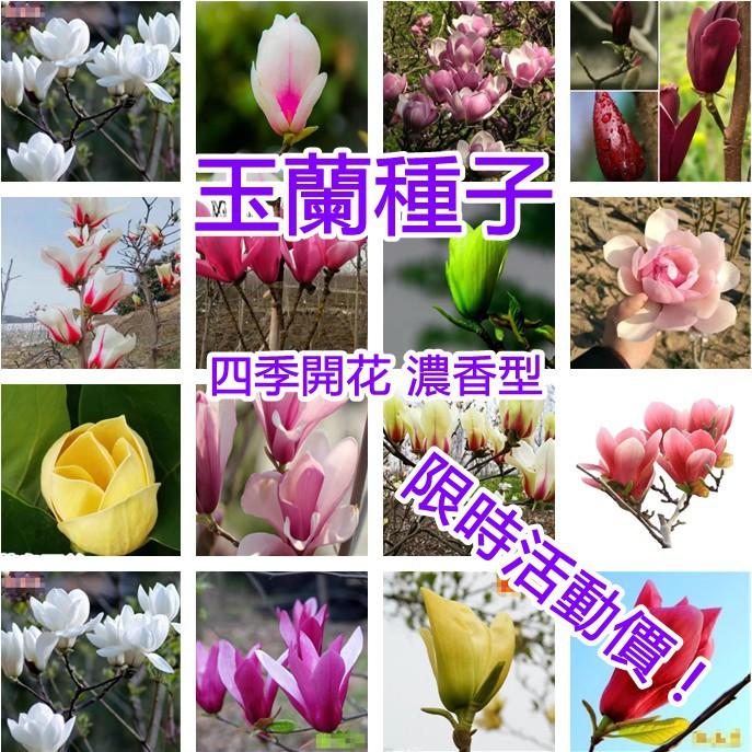 ✨ 玉蘭花種子 ✨  四季開花大型庭院紅黃白紫  玉蘭樹種籽 玉蘭