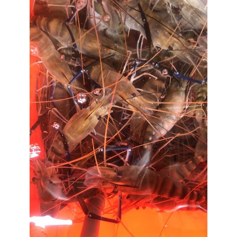 8斤免運費下標區、泰國蝦~活跳跳軟殼蝦 一斤$200一斤約8-14隻左右