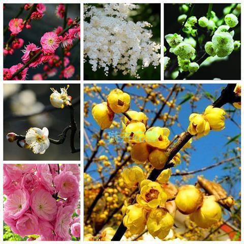 禾月小鋪 ☀XM 紅梅臘梅種子 紅梅烏梅綠梅白梅美人梅素心梅 多款梅花種子 花卉林木種子  綠植花卉種子