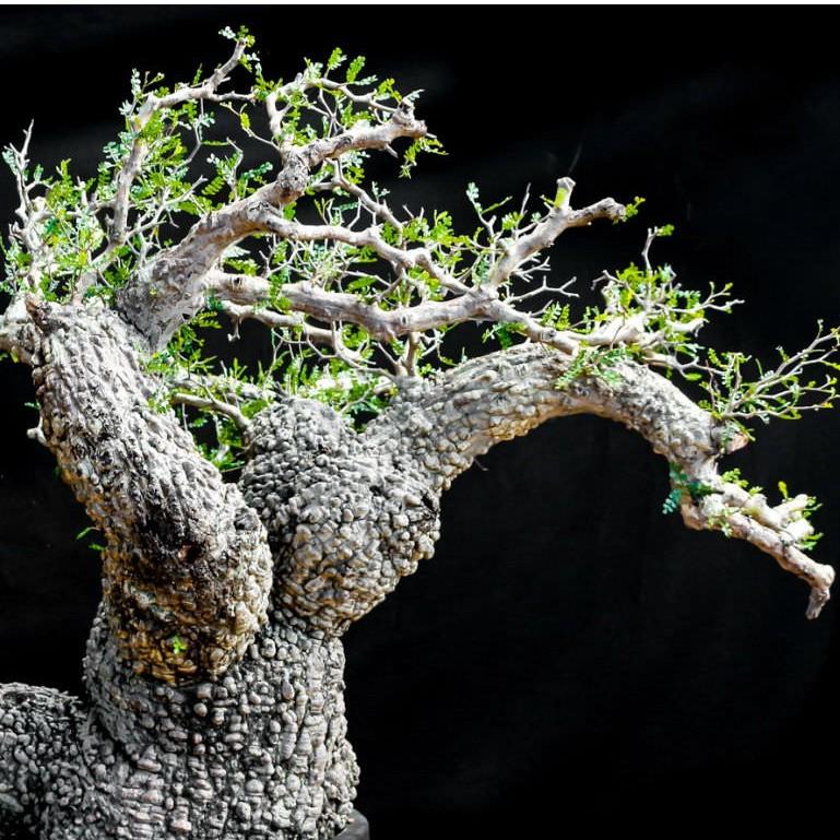 象足漆樹 Operculicarya pachypus 3.5吋盆苗 (實生苗) 塊根植物 阿金的便秘花園 PO007