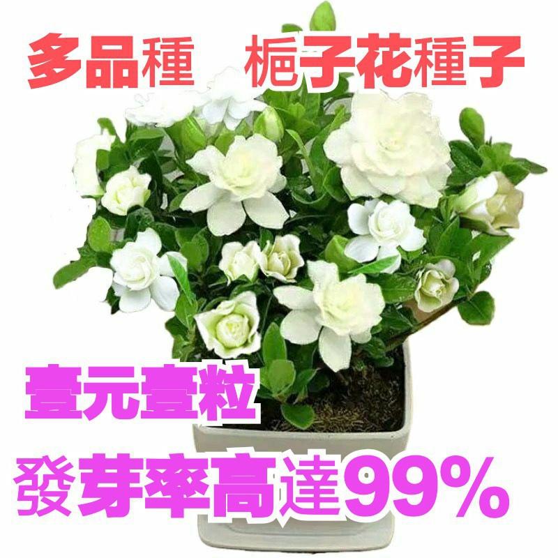 全場滿599免運:壹元壹粒   梔子花種子  超低價   多款易種盆栽  限時特價   發芽率99%