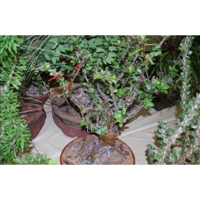 福桂花 魯尼拉福桂花 短莖福桂花Fouquieria leonilae種子