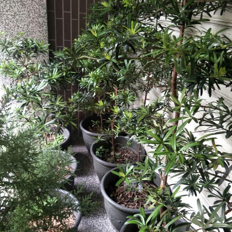 羅漢松樹圍籬盆栽1米2