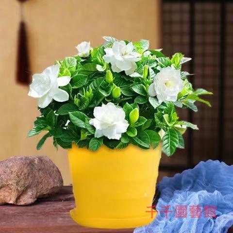 ✿千千園藝館✿梔子花種球四季種易活多年生開花植物盆栽室內庭院陽臺花卉種子