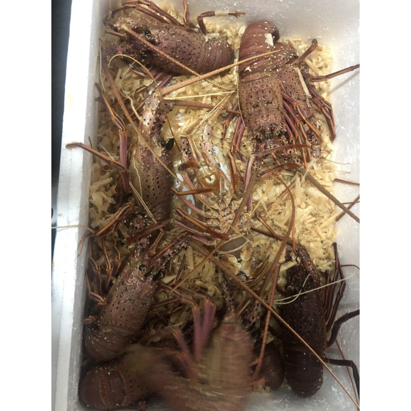 活體澳洲龍蝦  水姑娘