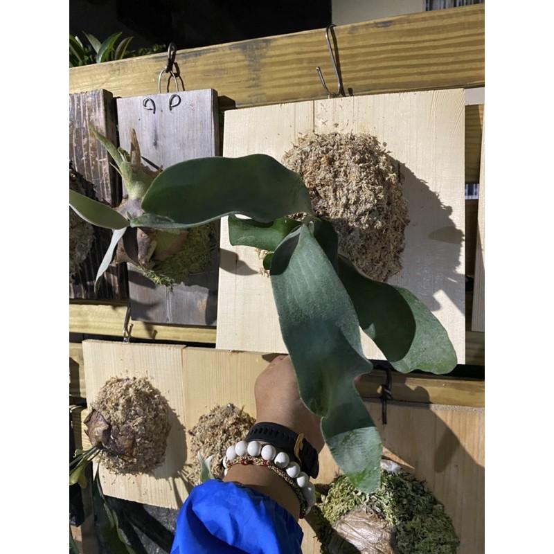 鹿台植男Fern gentle 🌈[陽台鹿角蕨販售] [蕨類植物]  品名:OMO 文青室內擺設必備 鹿角蕨麋齒羊角