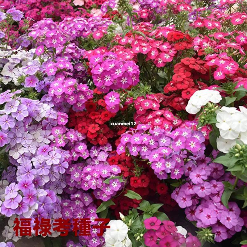 福祿考種子 小天藍繡球種子 混色春秋播 耐寒庭院盆栽 花壇綠化五色梅花種籽子 花卉種子