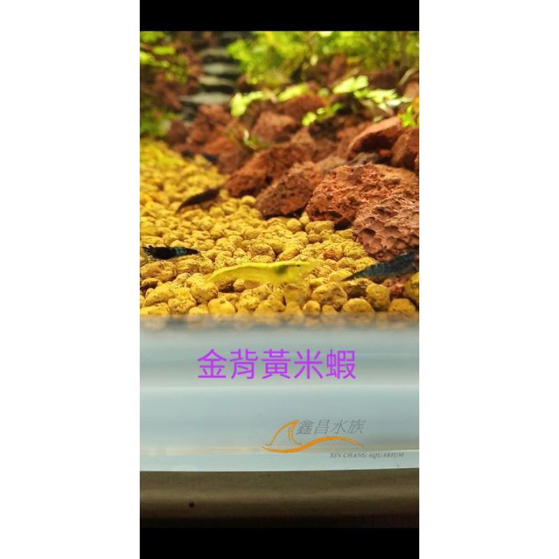 ≲鑫昌水族≳金背黃金米蝦(0.8cm)