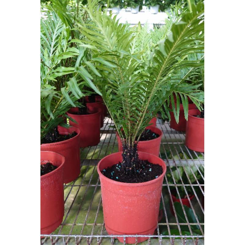東大興農場 美人蕨 5-6吋盆 觀葉植物 室內植物