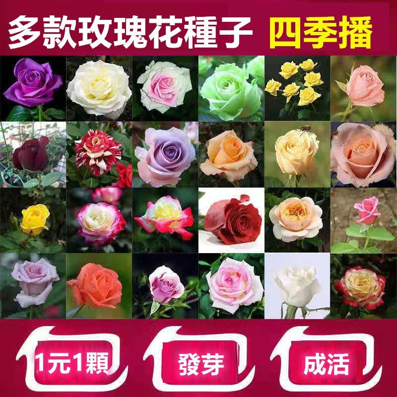 1元1顆 多種玫瑰花種子  月季花種子 薔薇花種子 種籽