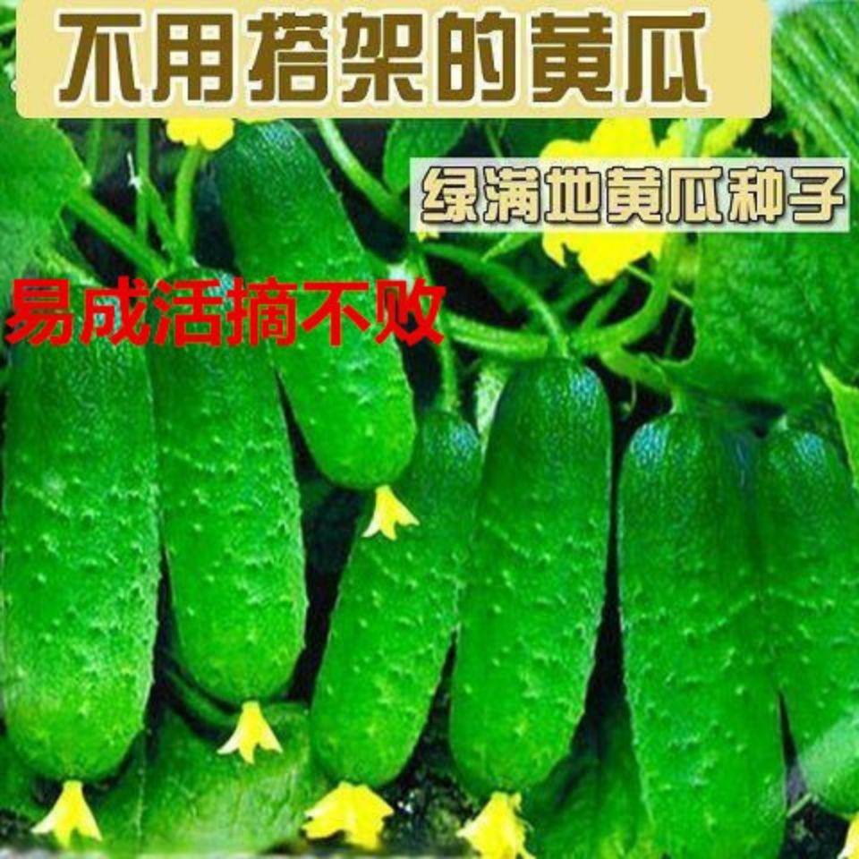 本土~◤改良可種植◥黃瓜種子四季水果小黃瓜種子綠芯刺青黃瓜春陽臺盆栽農家蔬菜種籽☛超長售後☚