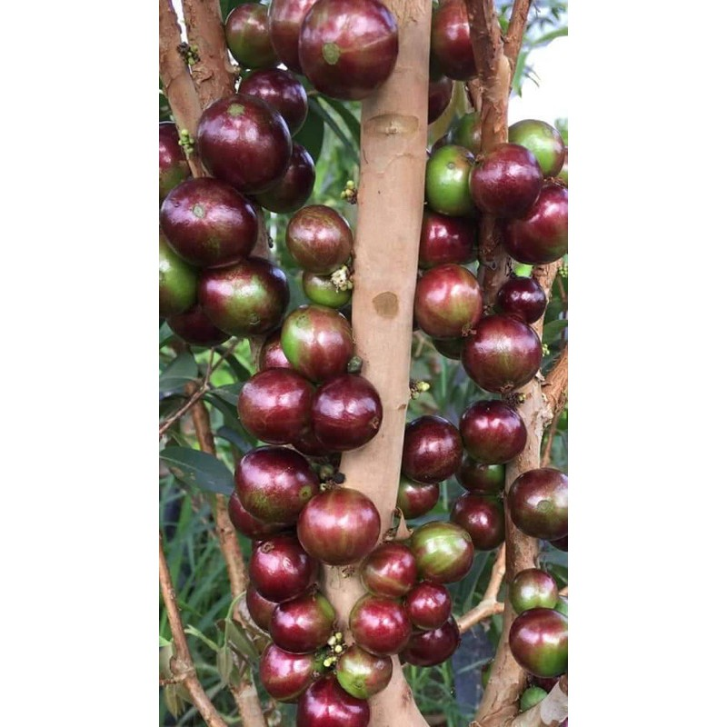 熊榆園藝 艾斯卡樹葡萄嫁接苗高度120公分/水果樹苗/新興果樹