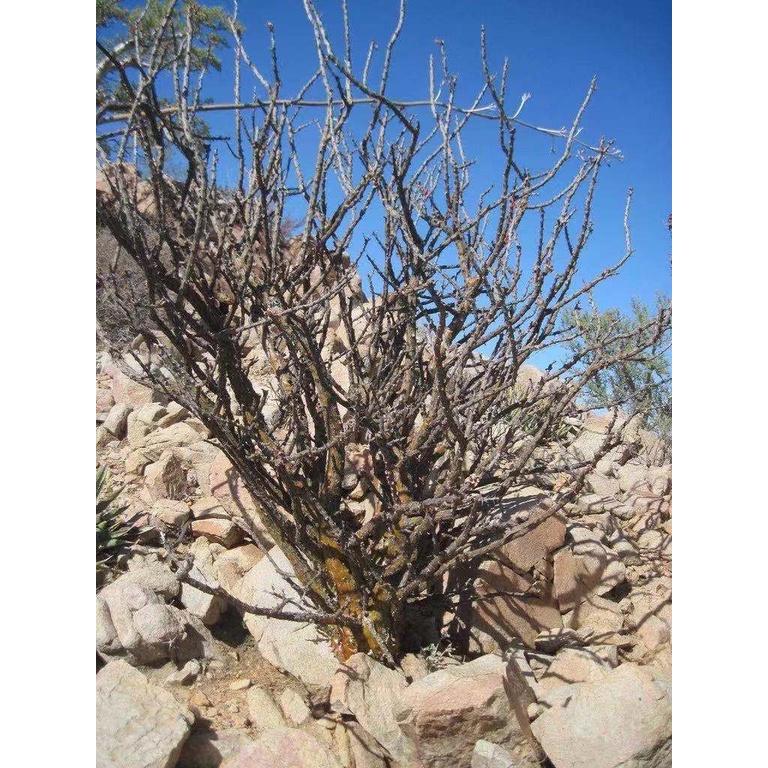科莫斯福貴花 Fouquieria formosa 福桂花 塊根植物 種子 稀有
