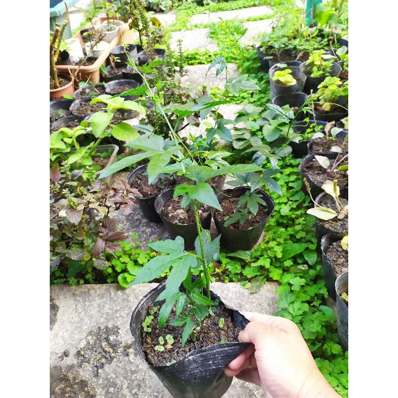木鱉果、越南木鱉果苗、現貨買五送一