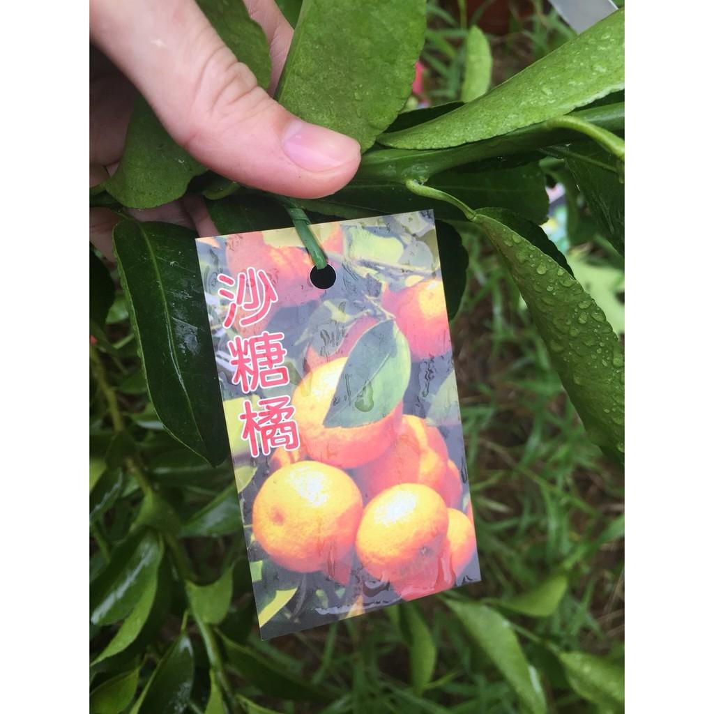 yo喲農場 -砂糖橘/沙糖橘/嫁接苗/水果苗