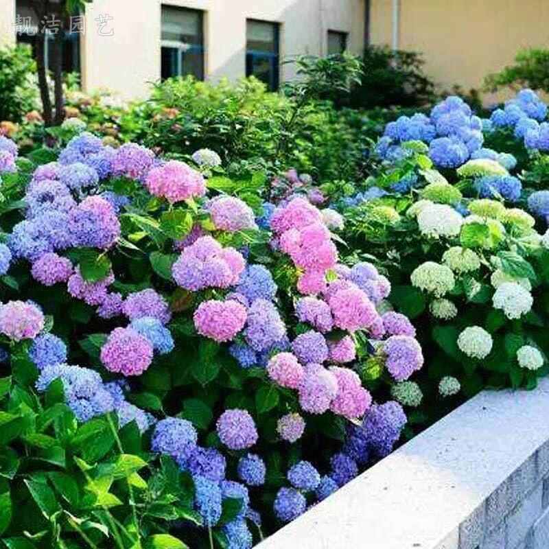 ୧琪琪園藝୨:繡球花種子