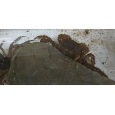 毛蟹 日本絨螯蟹 幼蟹