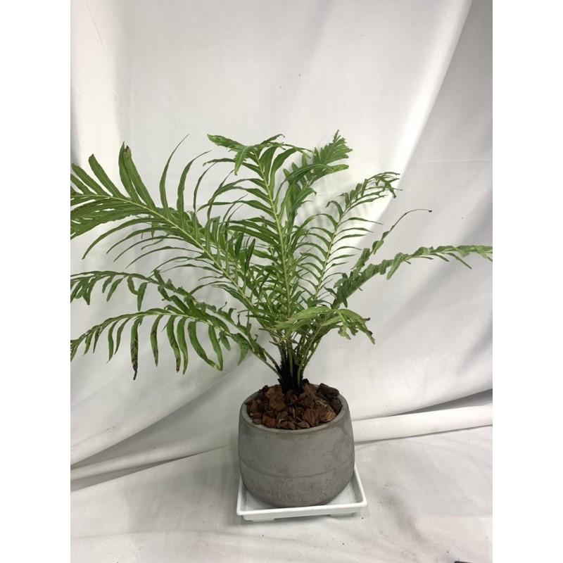 {英宏}室內觀葉植物 美人蕨(富貴蕨)3寸