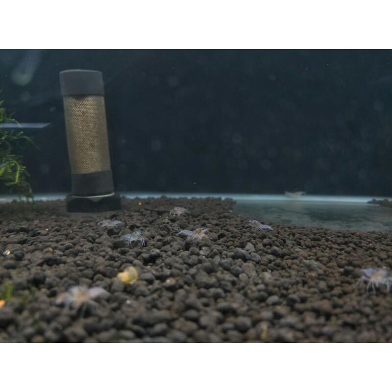 【六號蝦坊】純藍 螯蝦 仔蝦