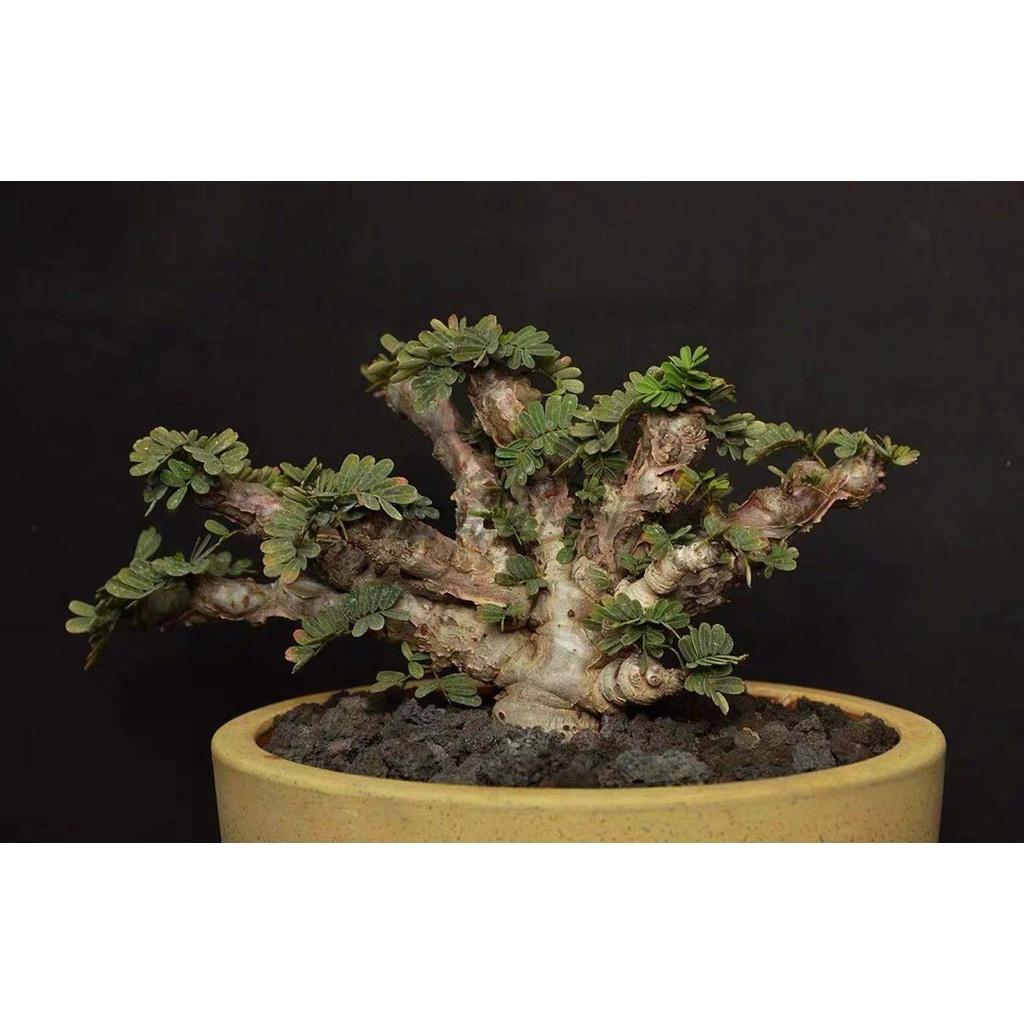 沙漠蘇木 Senna meridionalis 多肉 塊根植物 種子 稀有 盆景盆栽