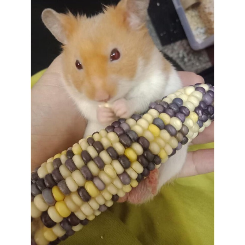 寵物食用玉米 寵物點心 兔子鸚鵡 老鼠食物 老鼠點心 鼠零食 鼠飼料 鼠點心 老鼠磨牙點心 小倉鼠
