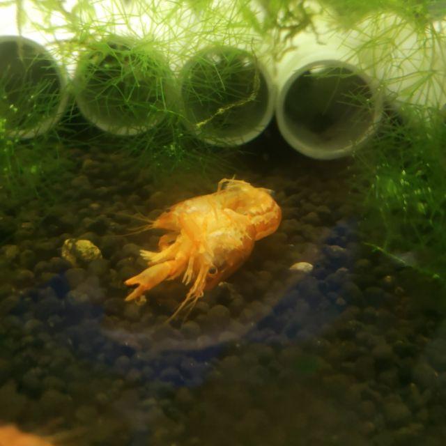 米蝦 水晶蝦 螯蝦 CPO仔.對蝦(侏儒橘螯)