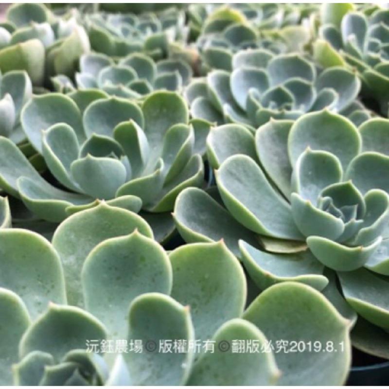 多肉 植物 七福神