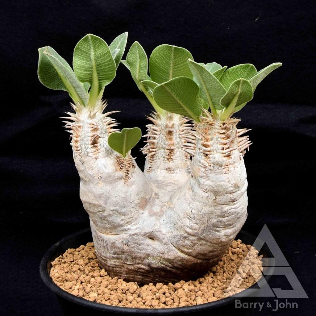 一本尼 種子 熱門 塊根 仙人掌 夏季型 多肉植物 #BJ多肉植物 #Pachypodium eburneum