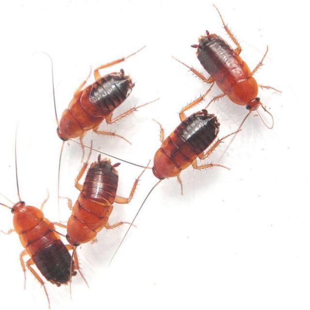 【Mr. Ant】 櫻桃紅蟑螂60隻左右