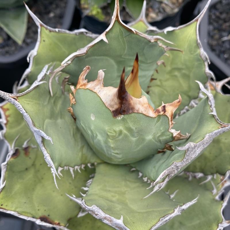 嚴龍 龍舌蘭agave
