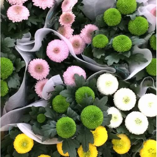 乒乓菊花種籽子四季開花易活花卉室內陽臺七彩盆栽植物太陽花種子