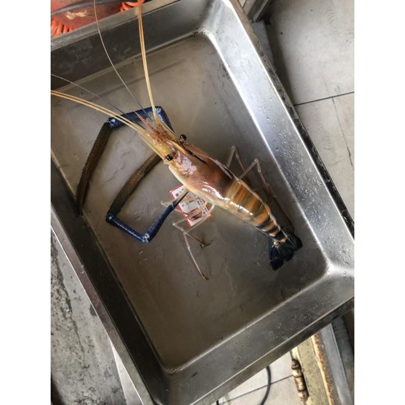 台灣巨無霸泰國蝦,活跳跳魚塭現抓,2-3隻一斤,滿8斤免運費、可提供活凍裝袋影片