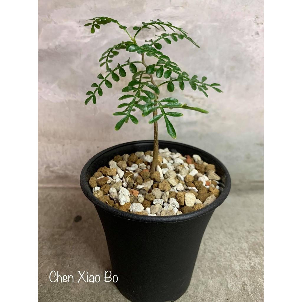 種子 象足漆樹(Operculicarya pachypus) 塊根植物