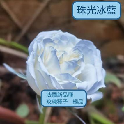❤臺灣發貨 玫瑰花種子超低價格 玫瑰種子 玫瑰花種子 玫瑰種子 多肉 多肉種子草莓種子碗蓮種子 藍色妖姬