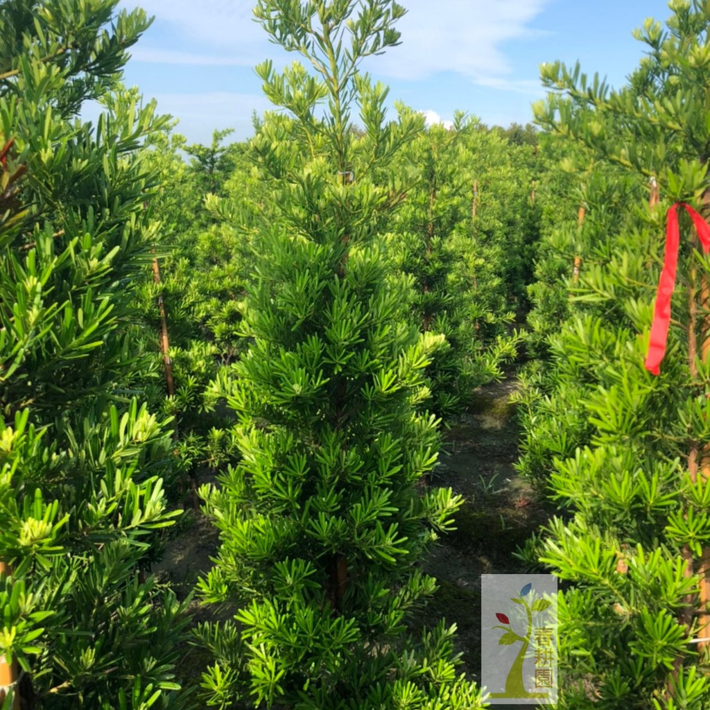 錐形羅漢松土球5-6尺高 / 圍籬植物 / 庭園造景 / 居家美化-春耕種苗園