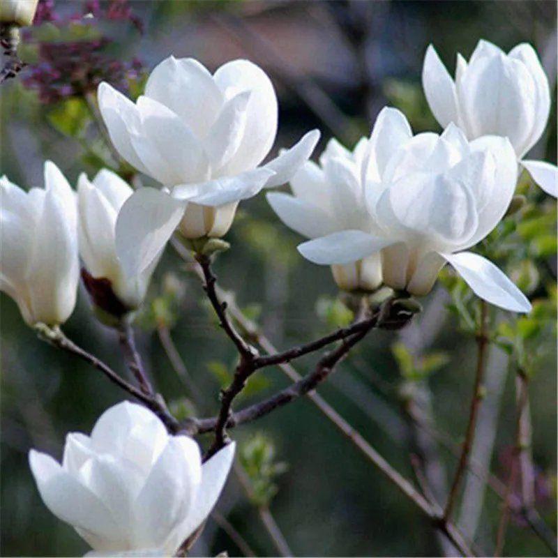 超低價 多彩紅白玉蘭花種子  四季開花  散發清香    發芽率高達99%