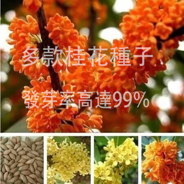 規劃種子當年新籽 四季桂八月桂金桂沉香桂花