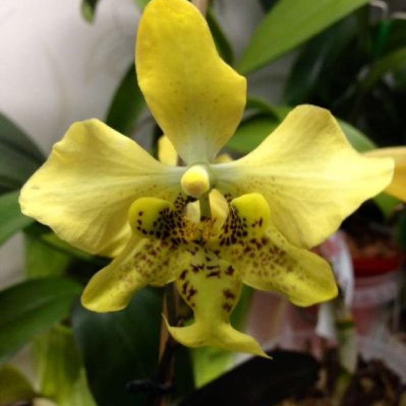 蝴蝶蘭原生種實生苗:Stuartiana var yellow x sib