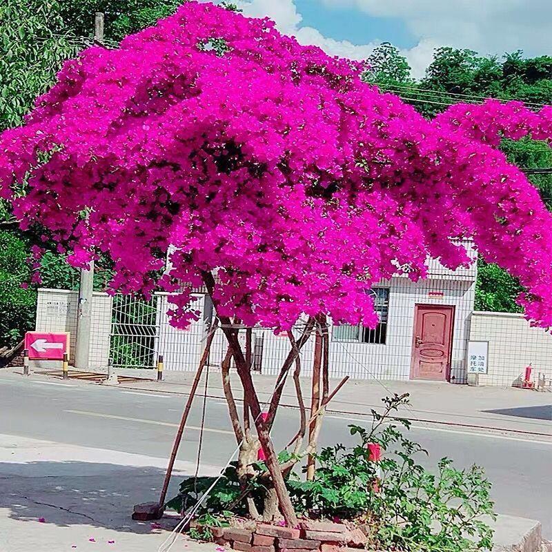 松鼠園藝 /320天循環開花重瓣三角梅花種子
