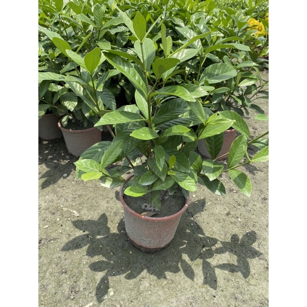 【田尾林阿伯園藝】梔子花盆栽 1尺高以上 約35-40公分