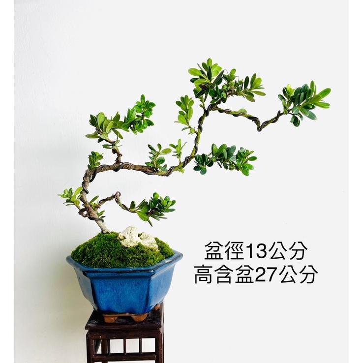 《野趣小品盆栽》珍珠羅漢松(幹身木質化)