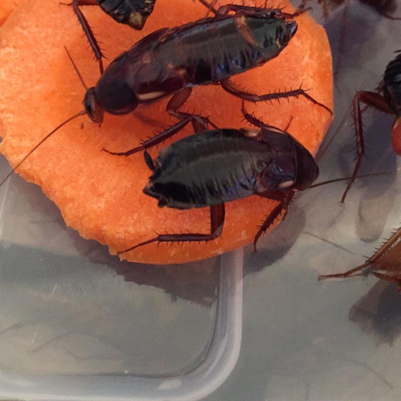 [有爬在商品舖]櫻桃紅蟑螂