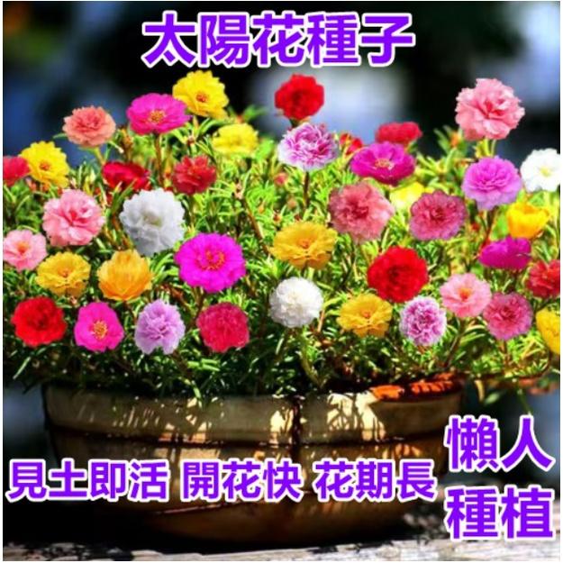 多款重辦太陽花種子 太陽花種籽 多款超低價 發芽率高達99% 限時搶購  太陽花庭院陽臺花卉種籽