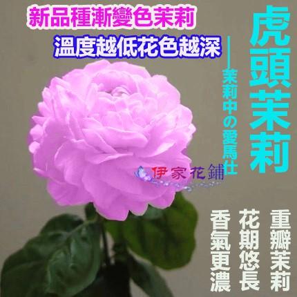 香水茉莉花種子 清香 重瓣 茉莉花 虎頭茉莉花種子