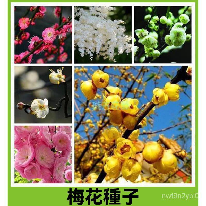紅梅臘梅種子 紅梅烏梅綠梅白梅美人梅素心梅 多款梅花種子 花卉林木種子 易種易活 室外陽台盆栽
