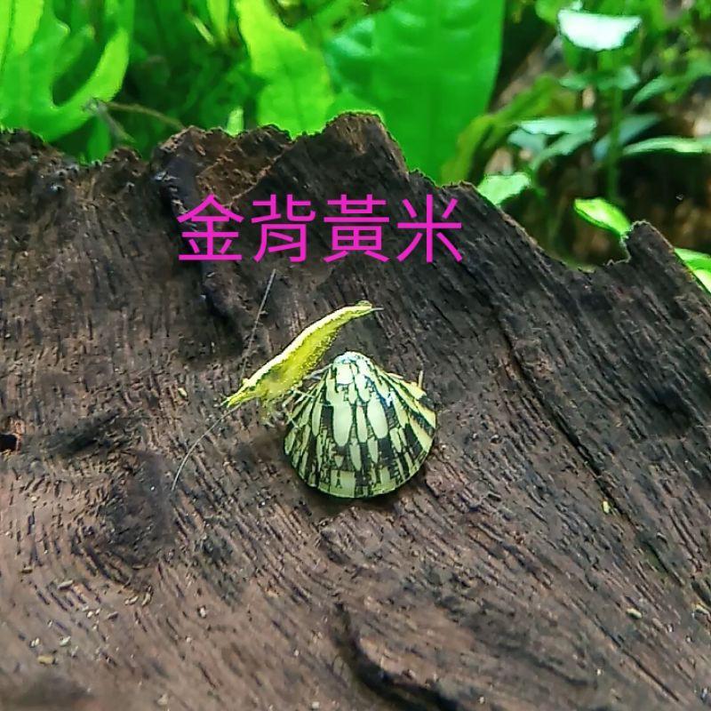 ≲鑫昌水族≳ 金背黃金米蝦(0.8cm)
