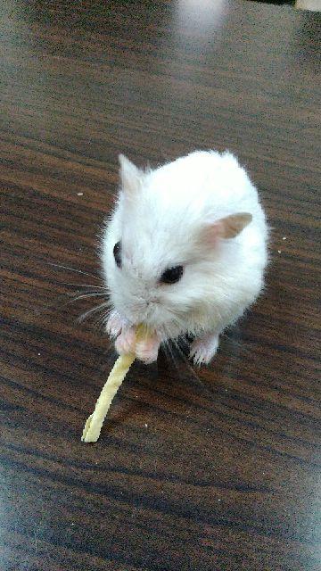 魚絲 5克-15元 老鼠點心 倉鼠零食 鼠飼料 寵物鼠主食 老鼠 三線鼠 楓葉鼠