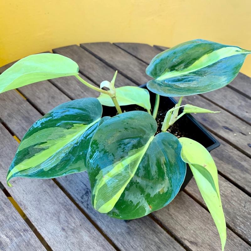 ❝植樸❞  斑葉桃心蔓綠絨 斑葉心葉蔓綠絨 桃葉藤 觀葉植物 室內植栽