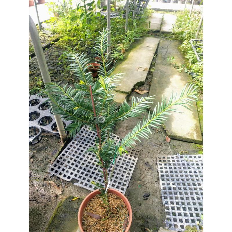 紅豆杉盆栽 紅豆杉苗 南洋紅豆杉、紫杉、赤柏松、紅杉